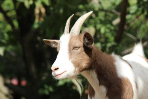 This goat does not look happy about being a scapegoat.